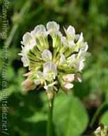 fiore di trifoglio bianco